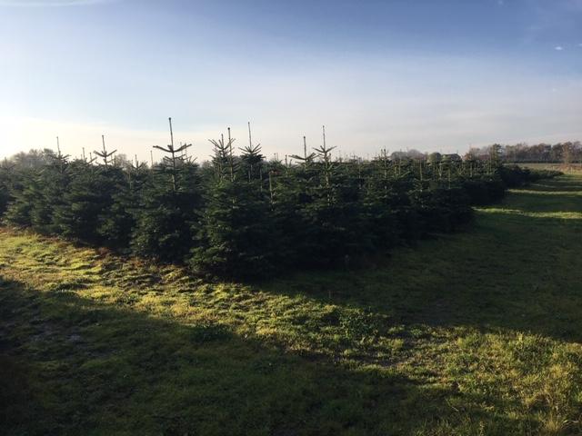 Juletræer hos Osbæk Gram