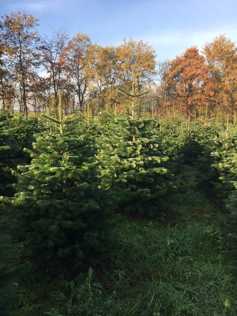 Osbæk Grans juletræer